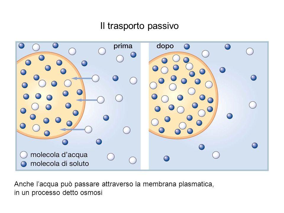 Il trasporto passivo Anche l'acqua può passare attraverso la membrana plasmatica, in un processo detto osmosi.