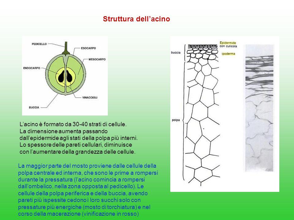 Struttura dell'acino L'acino è formato da 30-40 strati di cellule.
