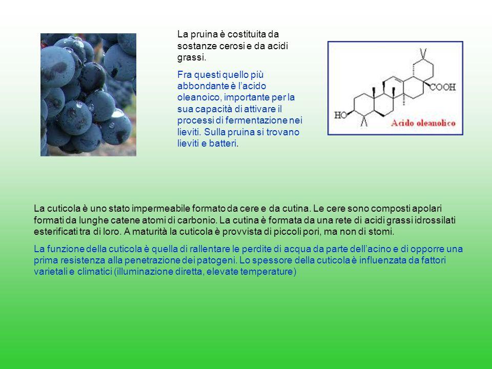 La pruina è costituita da sostanze cerosi e da acidi grassi.