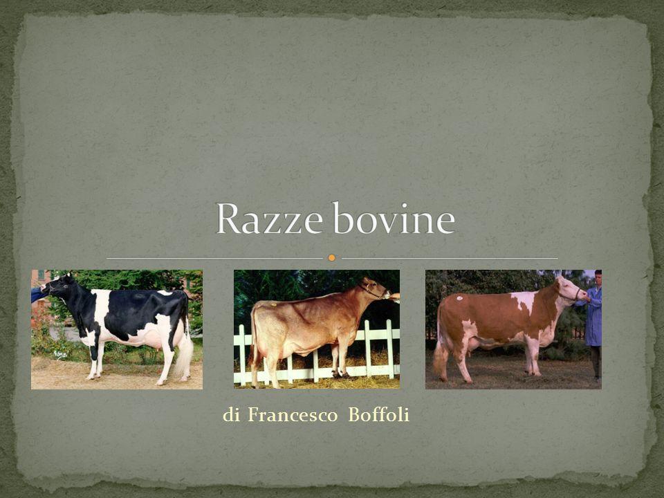 Razze bovine di Francesco Boffoli