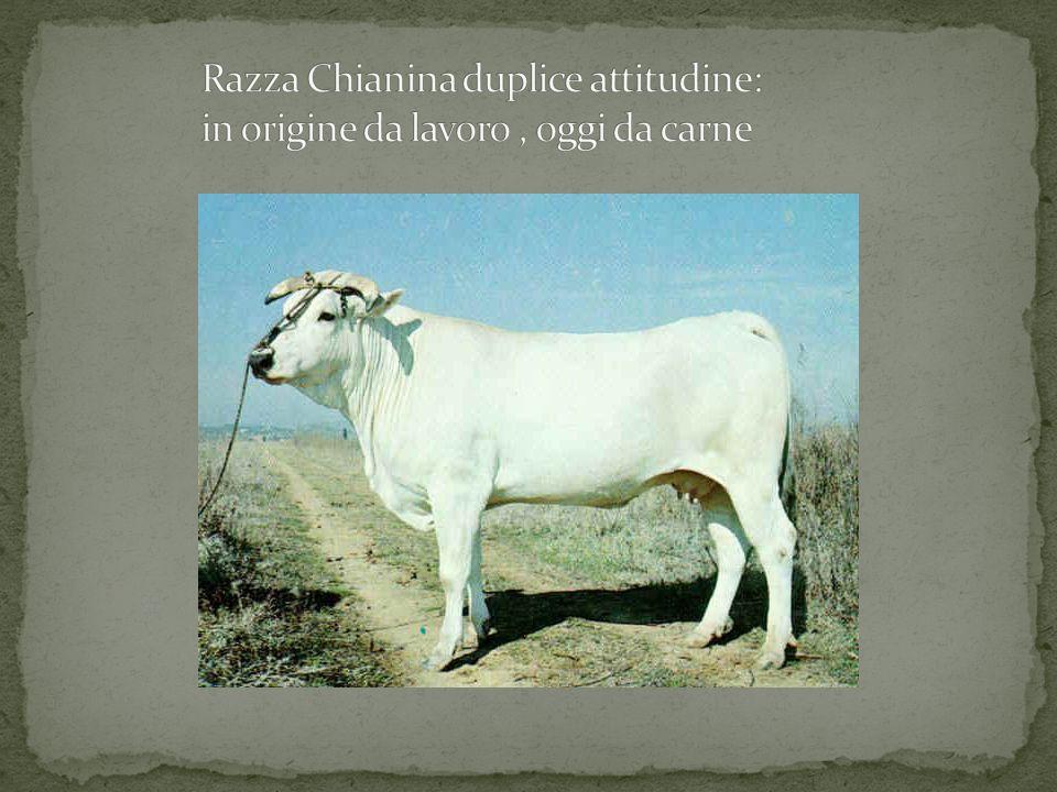 Razza Chianina duplice attitudine:
