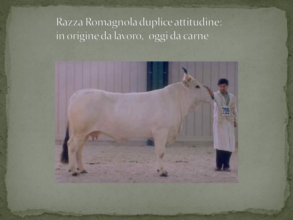 Razza Romagnola duplice attitudine: