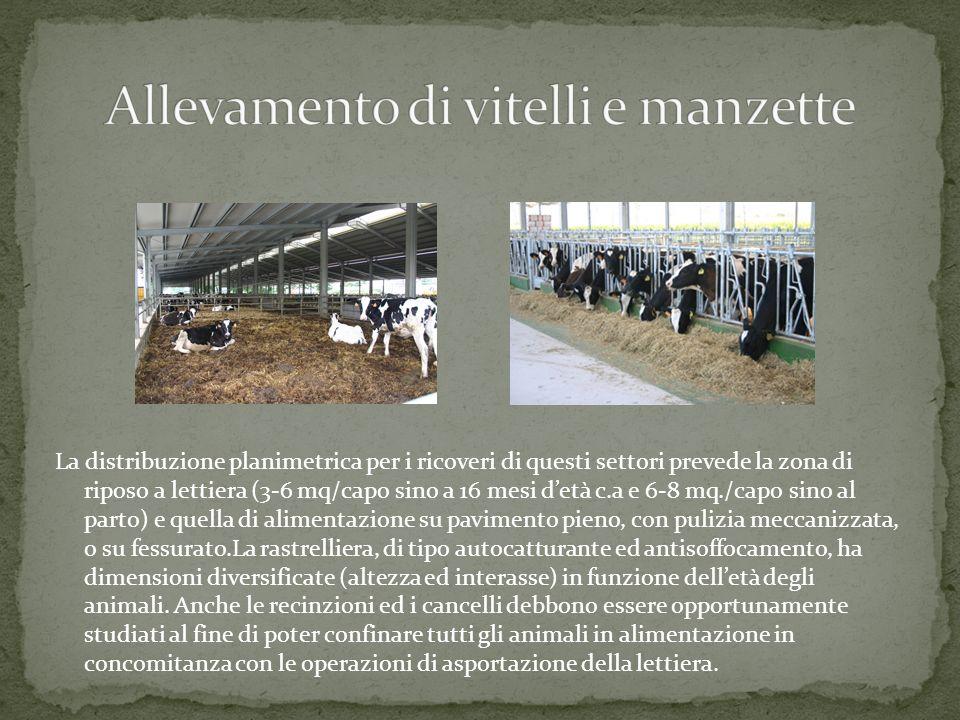 Allevamento di vitelli e manzette