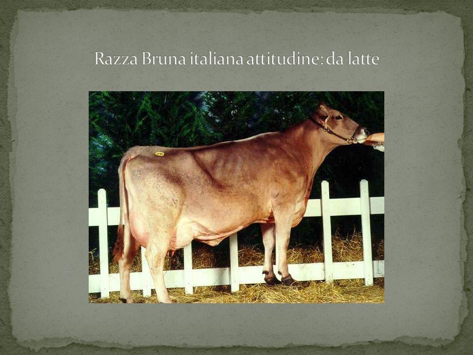 Razza Bruna italiana attitudine: da latte