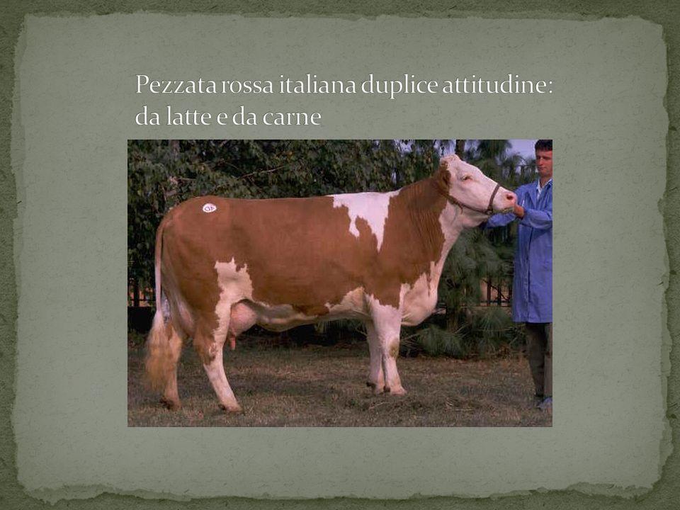 Pezzata rossa italiana duplice attitudine: da latte e da carne