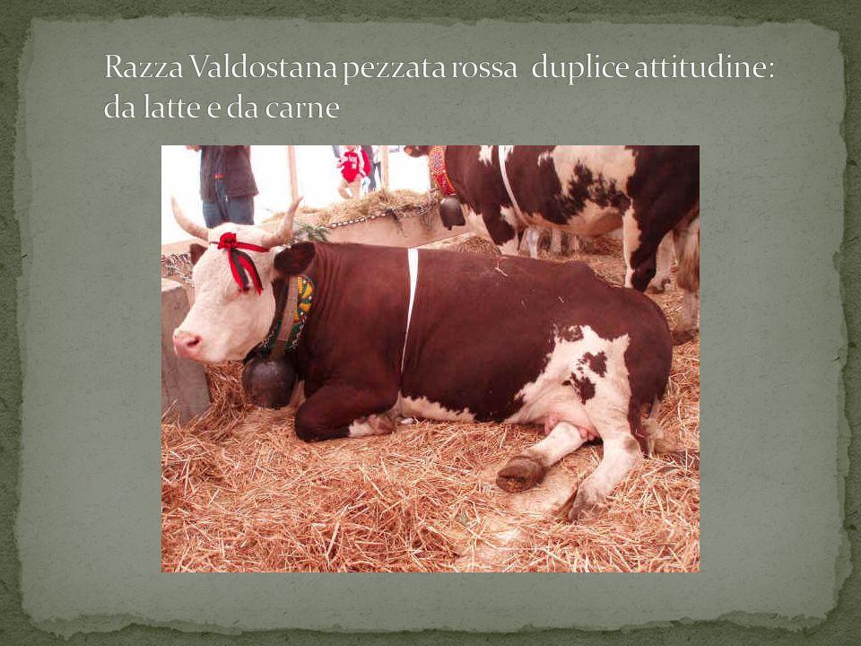 Razza Valdostana pezzata rossa duplice attitudine: da latte e da carne