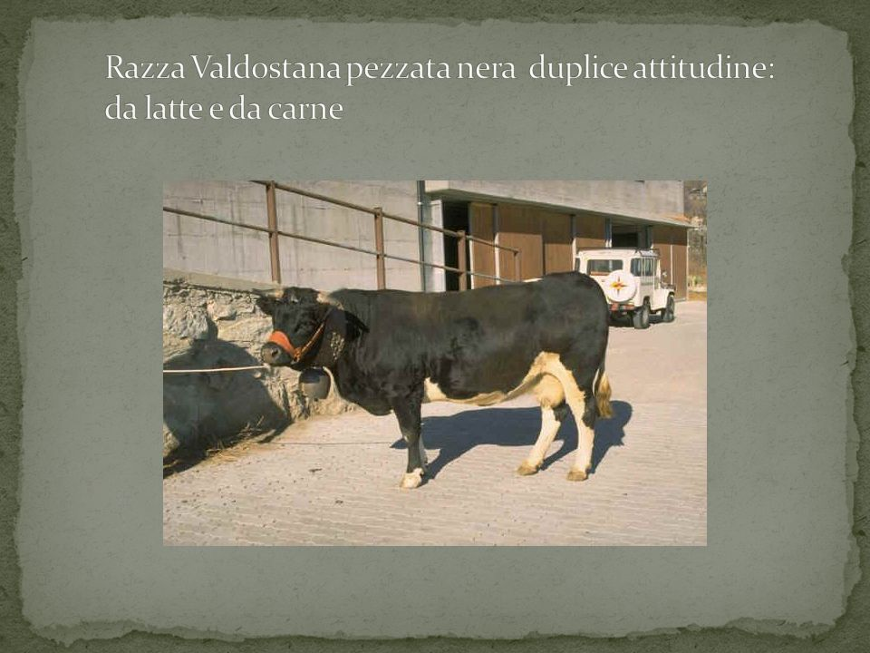Razza Valdostana pezzata nera duplice attitudine: da latte e da carne