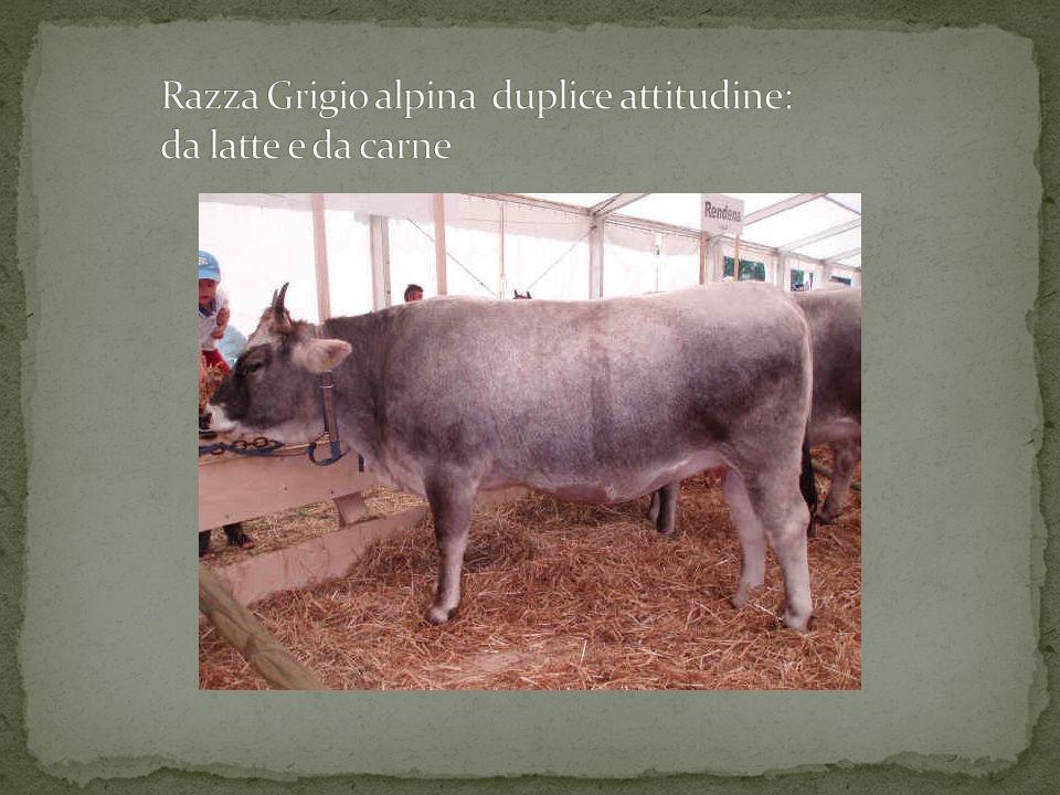Razza Grigio alpina duplice attitudine: da latte e da carne