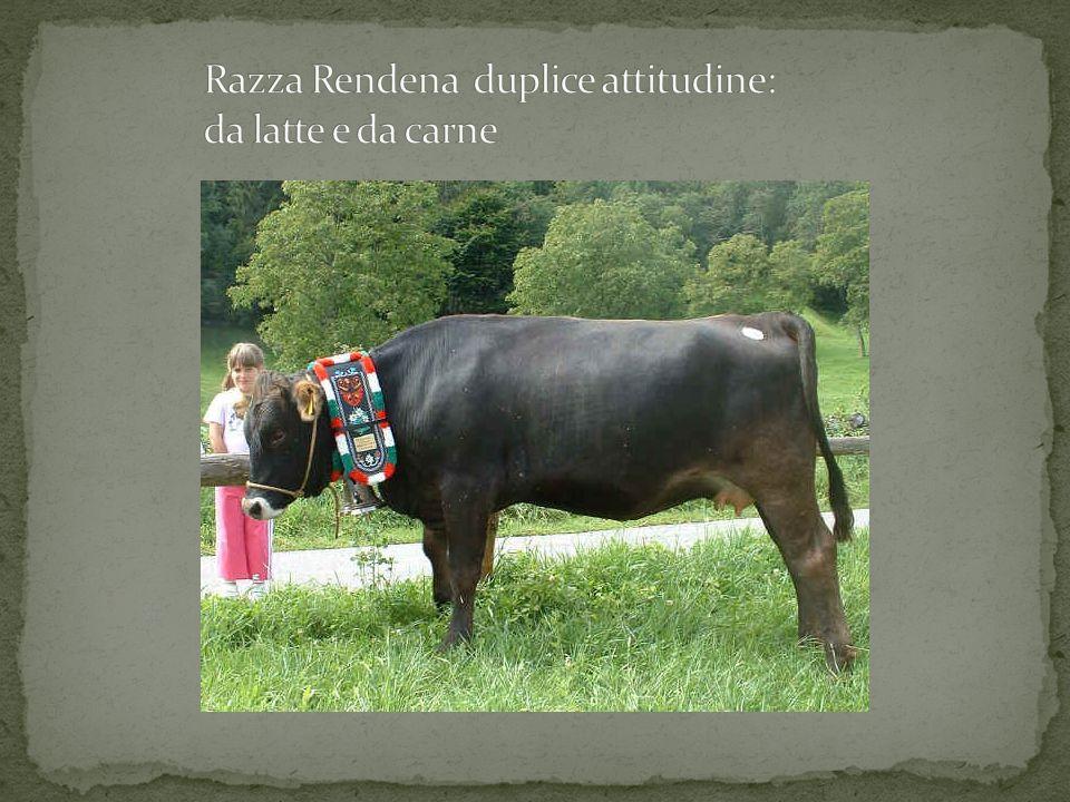Razza Rendena duplice attitudine: da latte e da carne