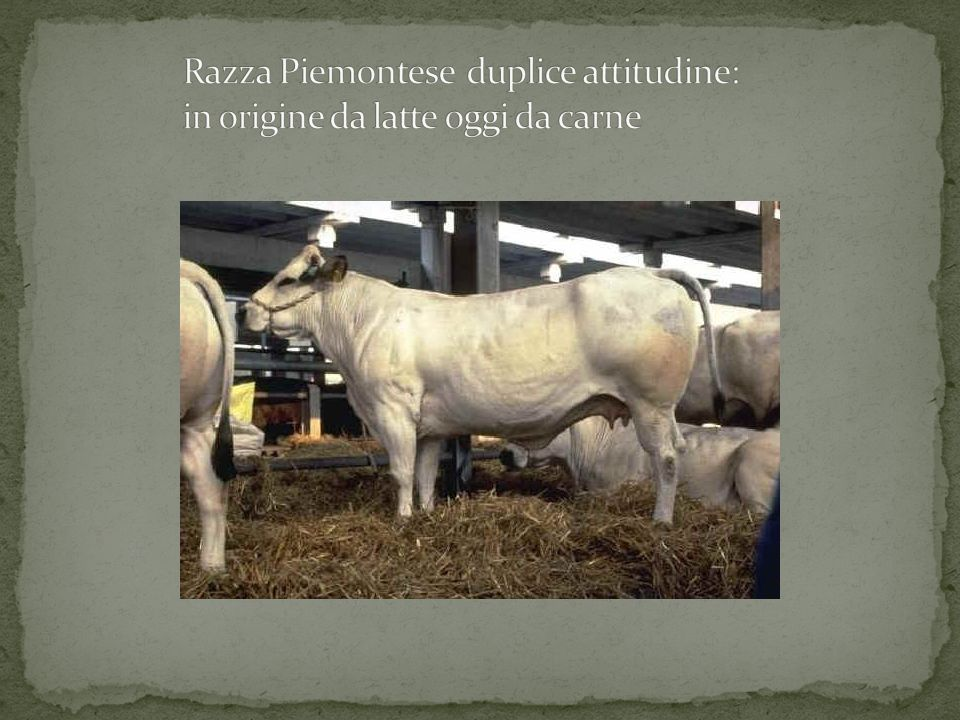 Razza Piemontese duplice attitudine: in origine da latte oggi da carne