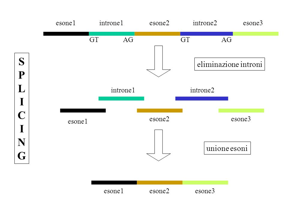 SPLICING eliminazione introni unione esoni esone1 introne1 esone2