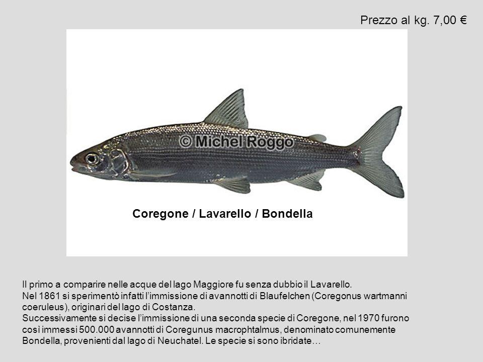 Coregone / Lavarello / Bondella