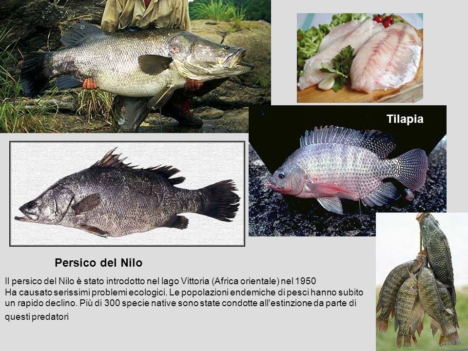 Tilapia Tilapia Persico del Nilo
