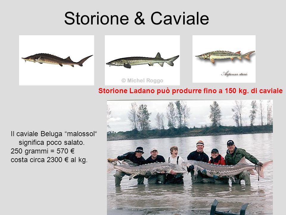 Storione & Caviale Storione Ladano può produrre fino a 150 kg. di caviale. Il caviale Beluga malossol