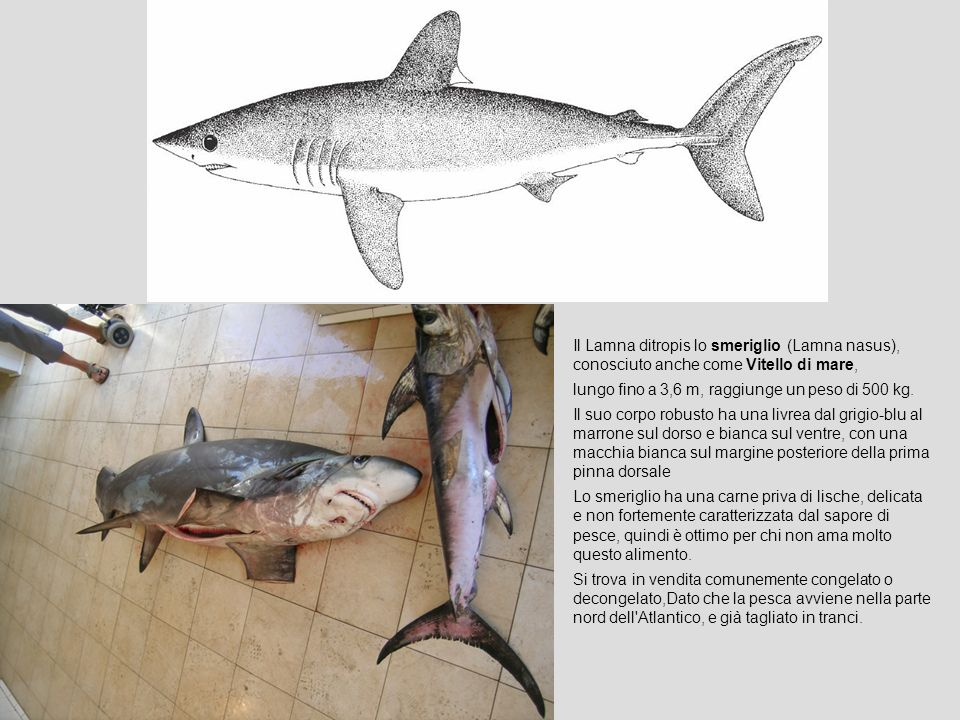 Il Lamna ditropis lo smeriglio (Lamna nasus), conosciuto anche come Vitello di mare,