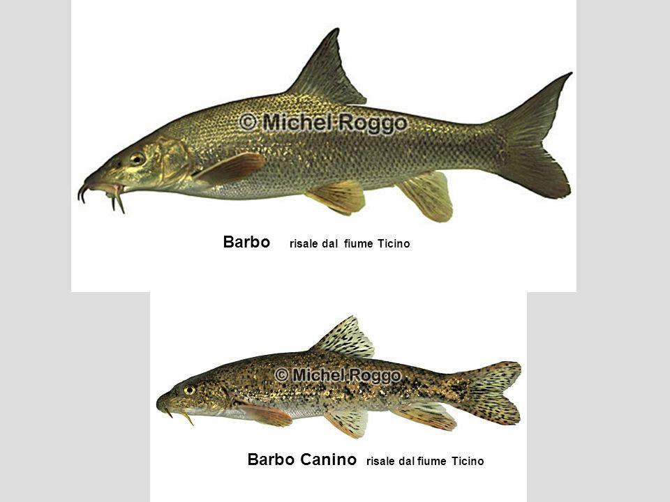 Barbo risale dal fiume Ticino