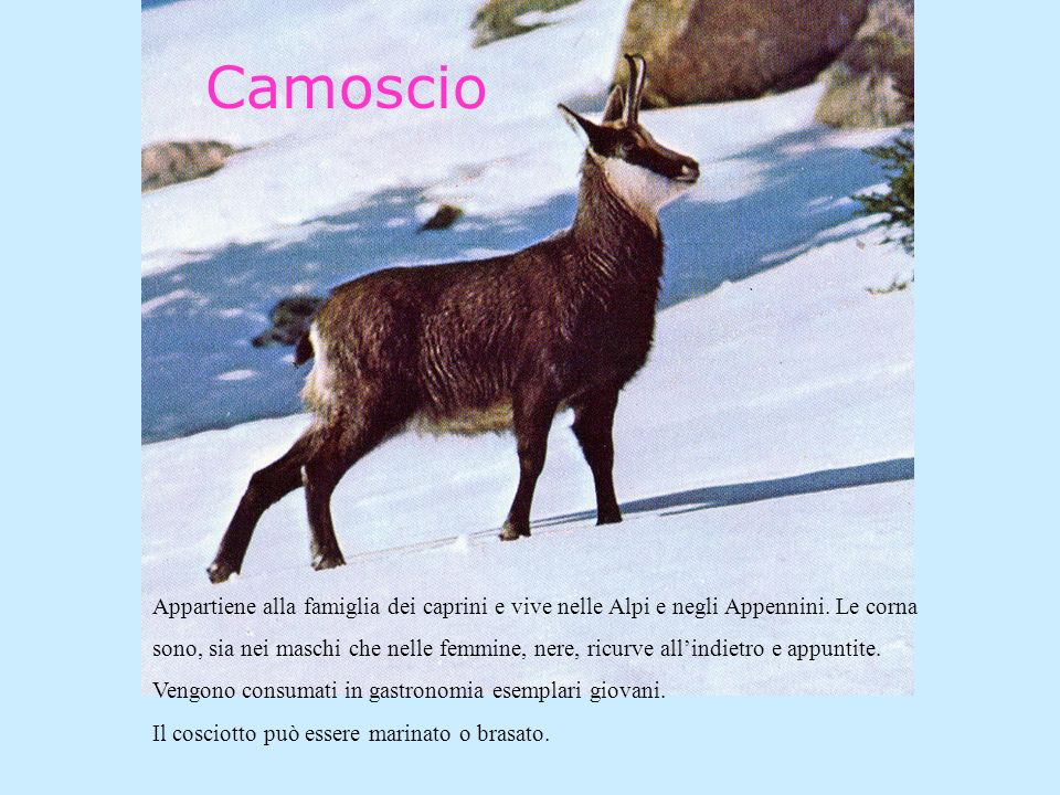 Camoscio Appartiene alla famiglia dei caprini e vive nelle Alpi e negli Appennini. Le corna.