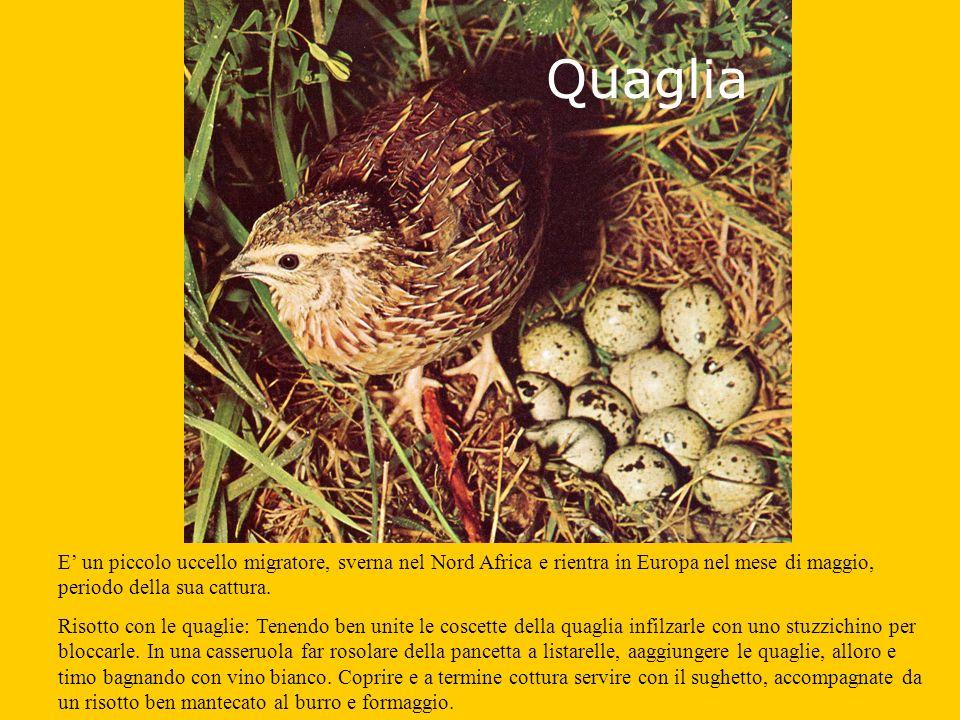 Quaglia E' un piccolo uccello migratore, sverna nel Nord Africa e rientra in Europa nel mese di maggio, periodo della sua cattura.