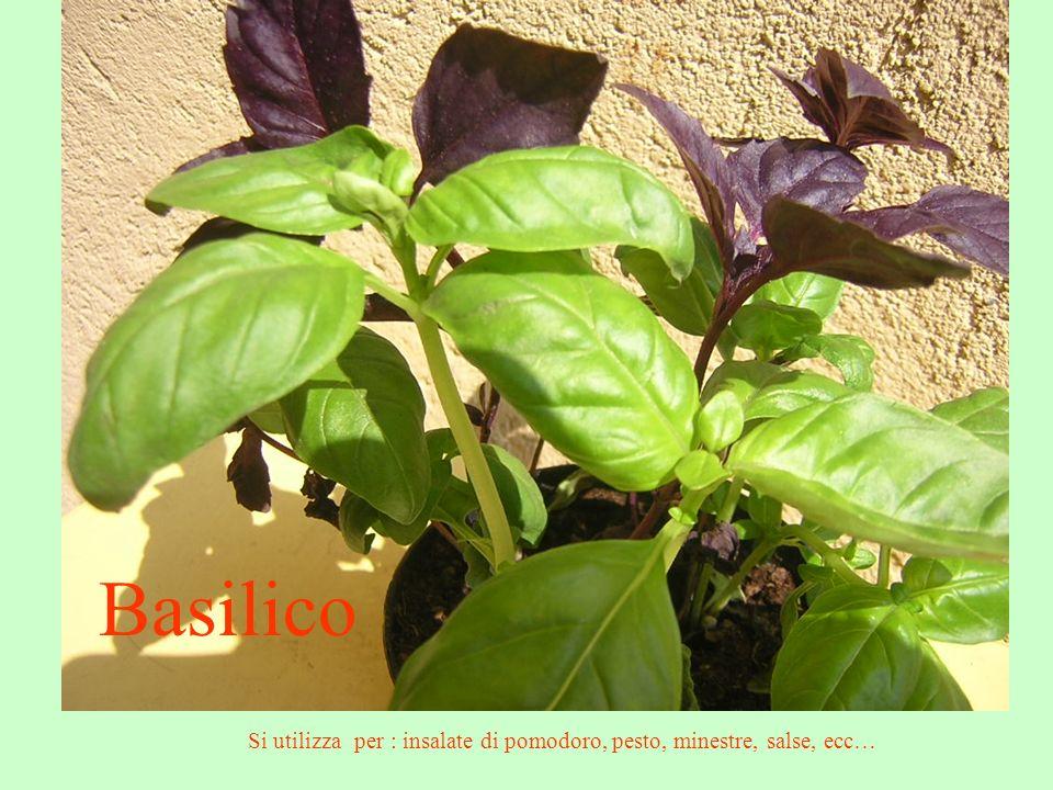 Basilico Si utilizza per : insalate di pomodoro, pesto, minestre, salse, ecc…