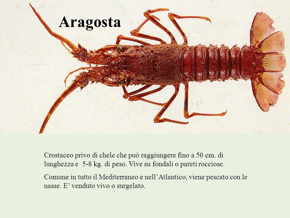 Aragosta Crostaceo privo di chele che può raggiungere fino a 50 cm. di lunghezza e 5-8 kg. di peso. Vive su fondali o pareti rocciose.