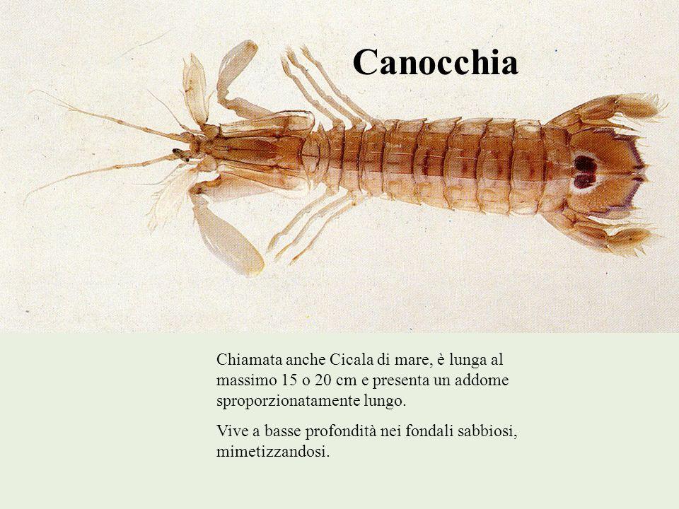 Canocchia Chiamata anche Cicala di mare, è lunga al massimo 15 o 20 cm e presenta un addome sproporzionatamente lungo.