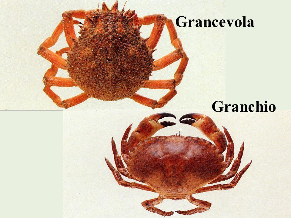 Grancevola Granchio