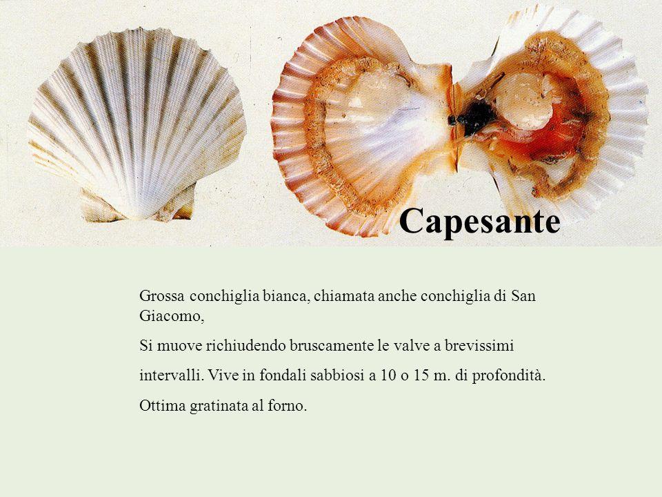 Capesante Grossa conchiglia bianca, chiamata anche conchiglia di San Giacomo, Si muove richiudendo bruscamente le valve a brevissimi.