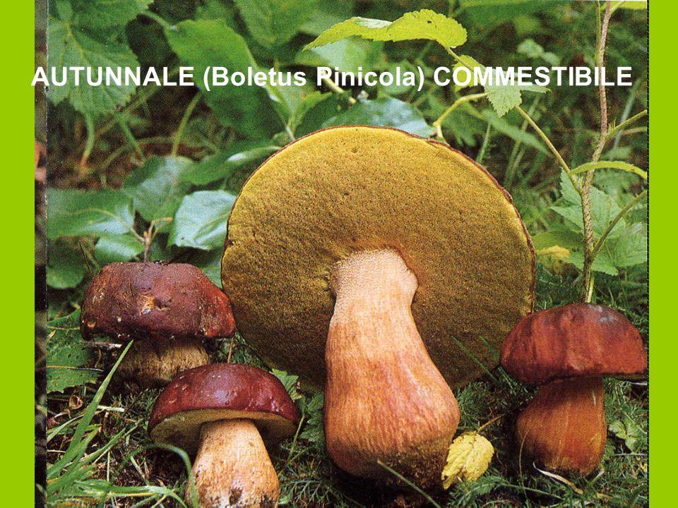 AUTUNNALE (Boletus Pinicola) COMMESTIBILE
