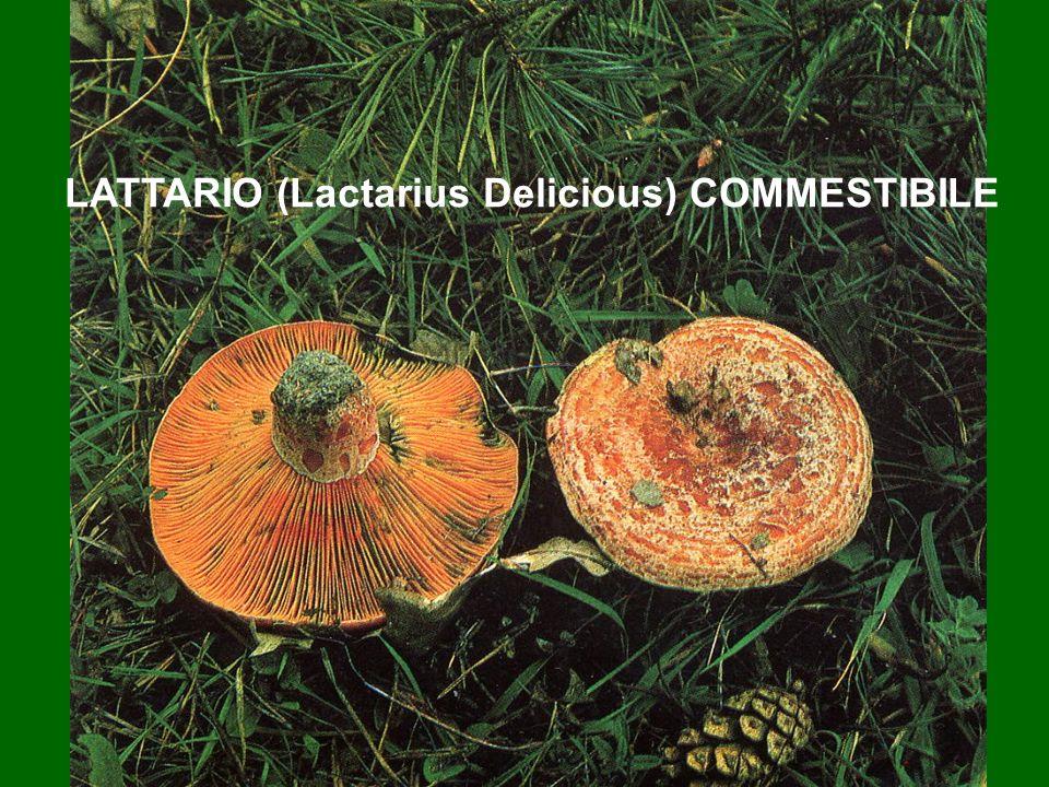 LATTARIO (Lactarius Delicious) COMMESTIBILE