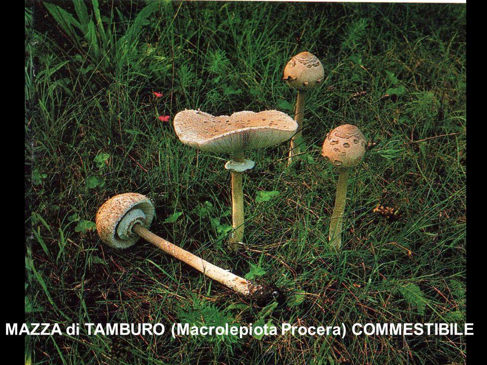 MAZZA di TAMBURO (Macrolepiota Procera) COMMESTIBILE