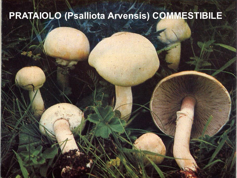 PRATAIOLO (Psalliota Arvensis) COMMESTIBILE