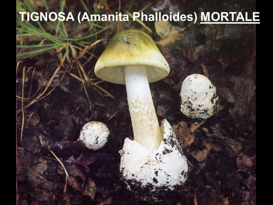TIGNOSA (Amanita Phalloides) MORTALE