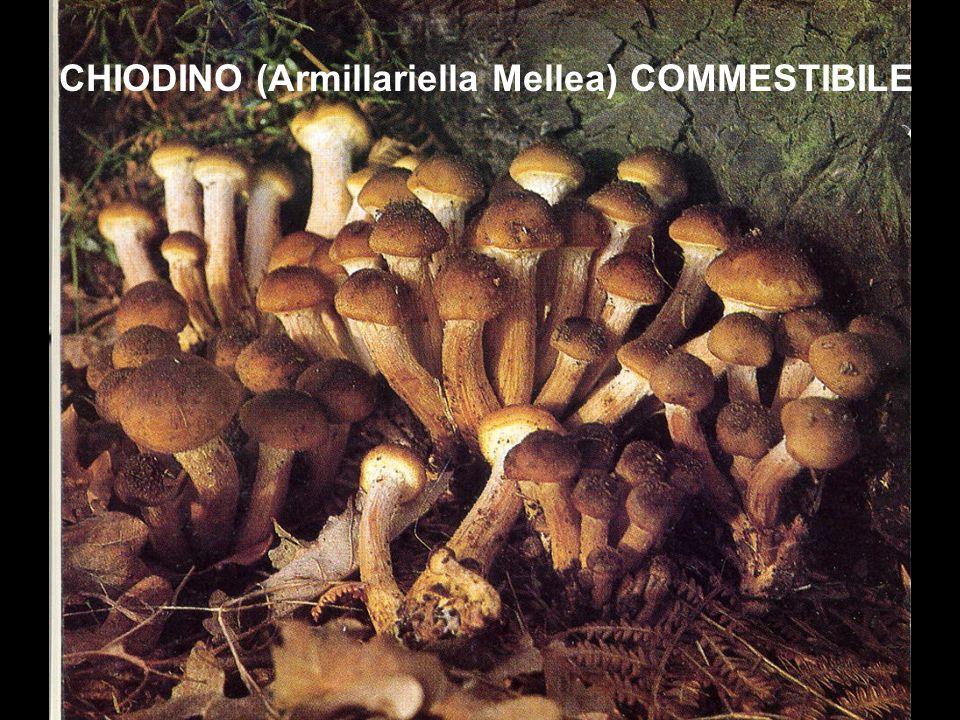 CHIODINO (Armillariella Mellea) COMMESTIBILE