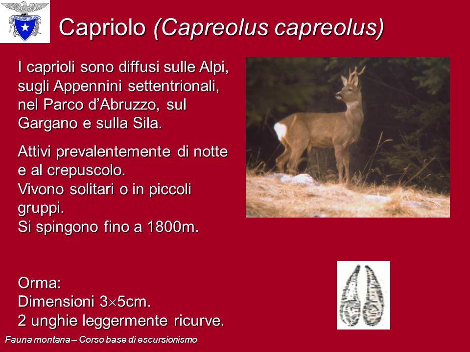 Capriolo (Capreolus capreolus)
