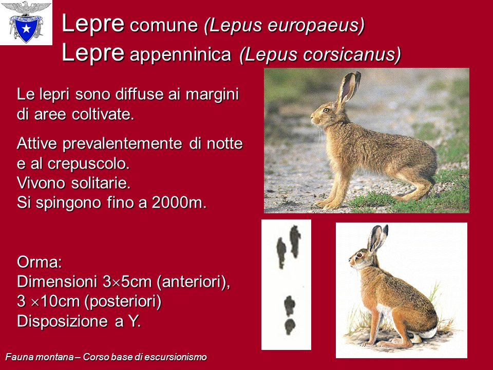 Lepre comune (Lepus europaeus) Lepre appenninica (Lepus corsicanus)