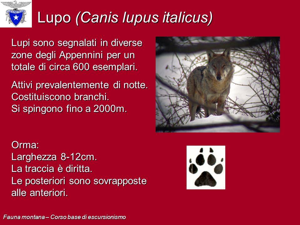 Lupo (Canis lupus italicus)