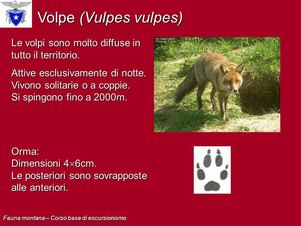 Volpe (Vulpes vulpes) Le volpi sono molto diffuse in tutto il territorio.