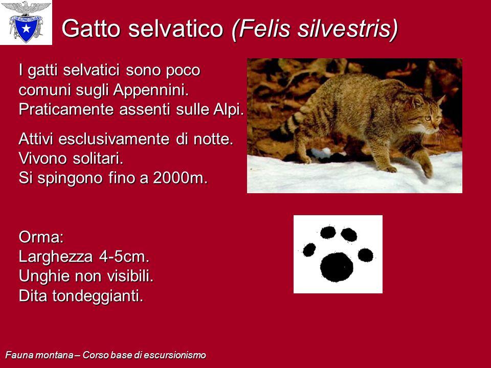 Gatto selvatico (Felis silvestris)