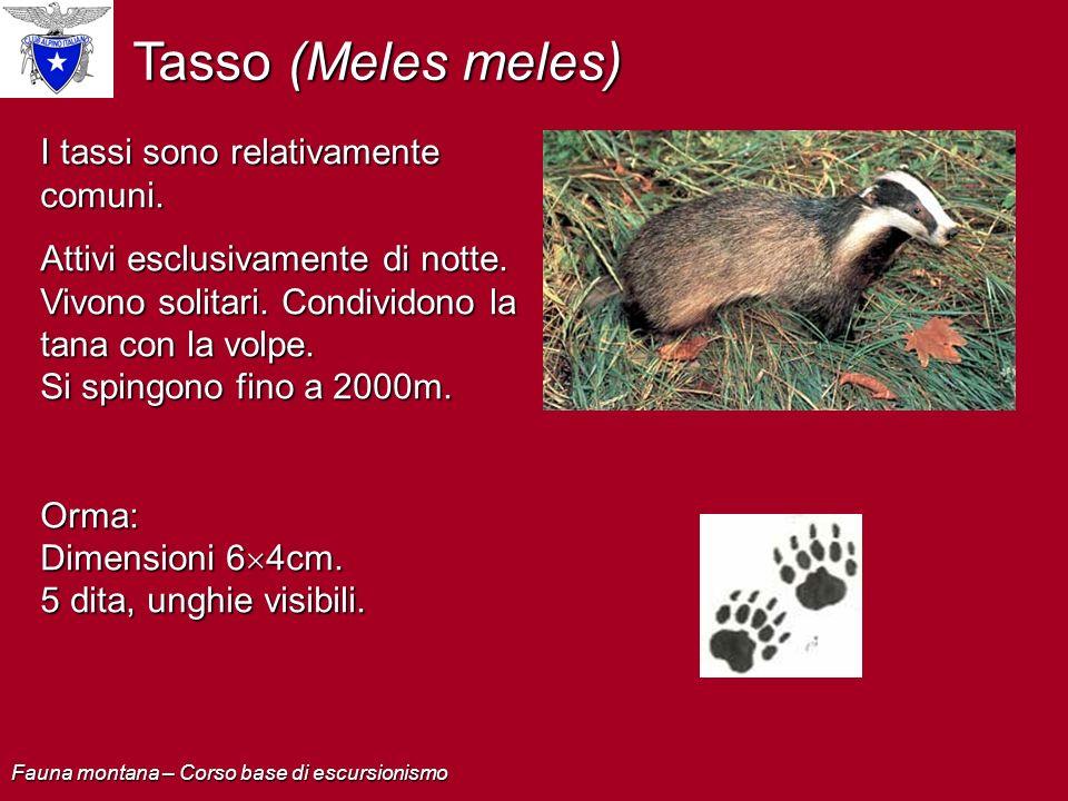Tasso (Meles meles) I tassi sono relativamente comuni.
