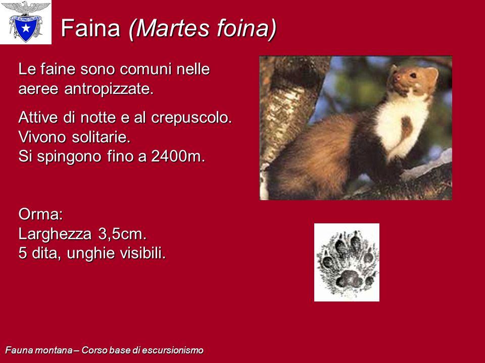 Faina (Martes foina) Le faine sono comuni nelle aeree antropizzate.