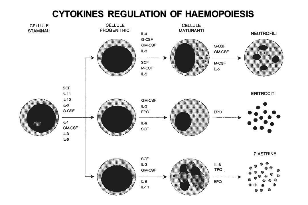 CYTOKINES REGULATION OF HAEMOPOIESIS