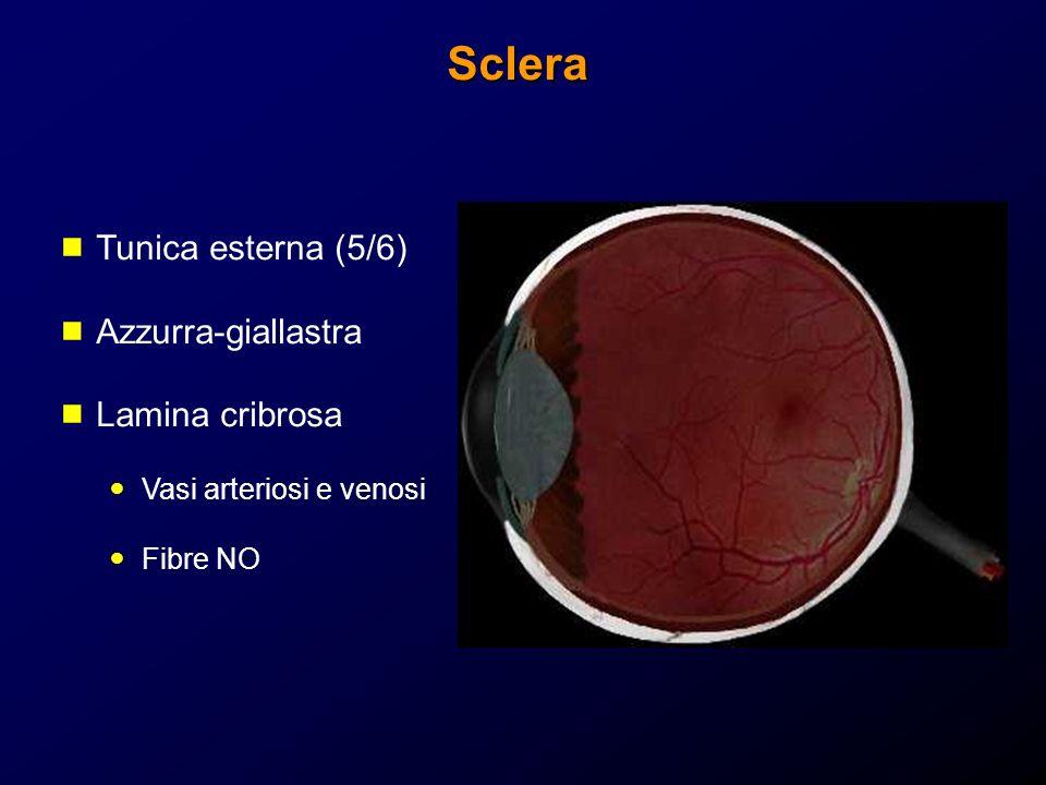 Sclera Tunica esterna (5/6) Azzurra-giallastra Lamina cribrosa