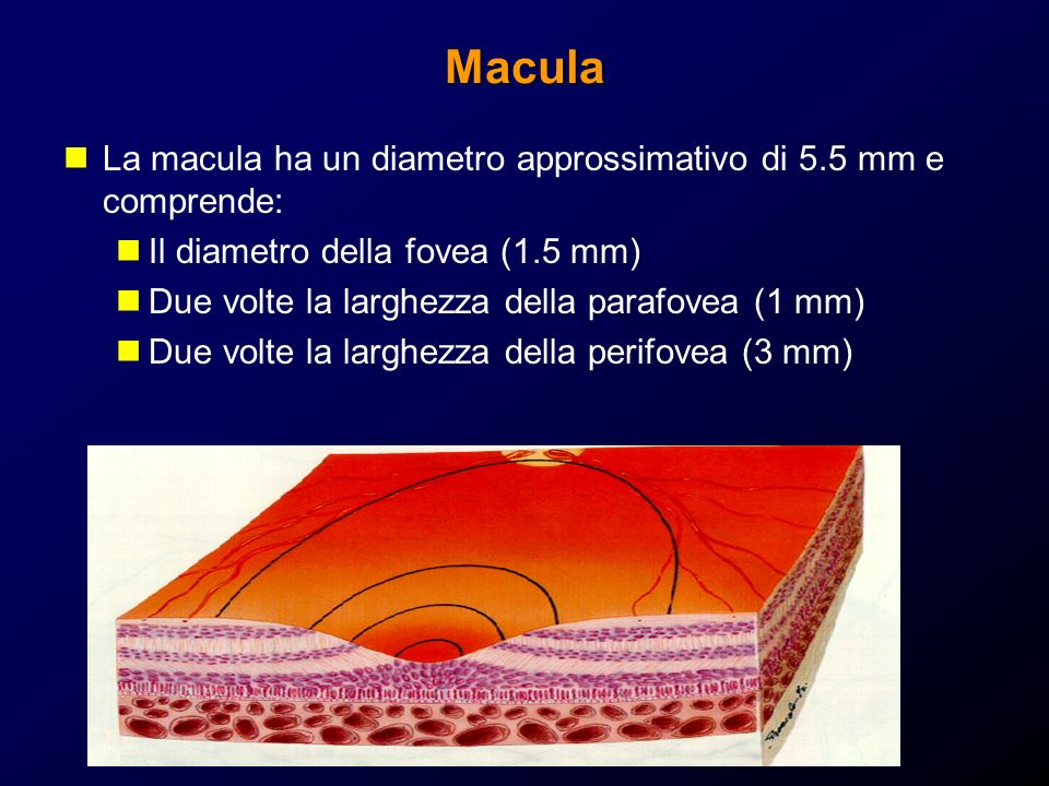 Macula La macula ha un diametro approssimativo di 5.5 mm e comprende: