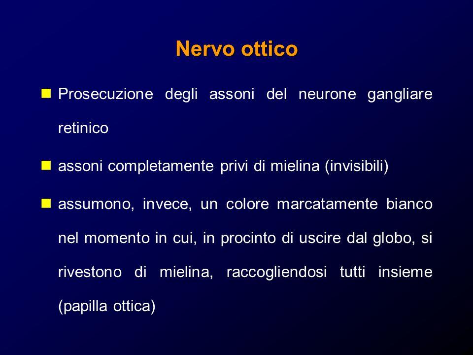 Nervo ottico Prosecuzione degli assoni del neurone gangliare retinico