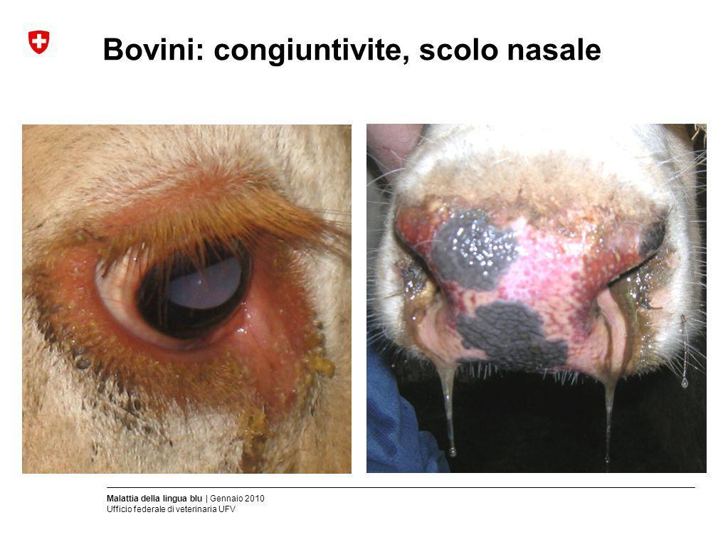 Bovini: congiuntivite, scolo nasale