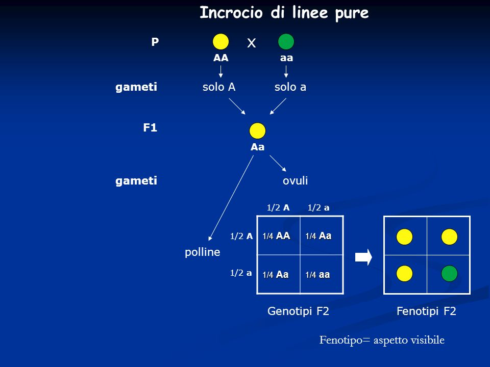 Incrocio di linee pure x Fenotipo= aspetto visibile P gameti solo A