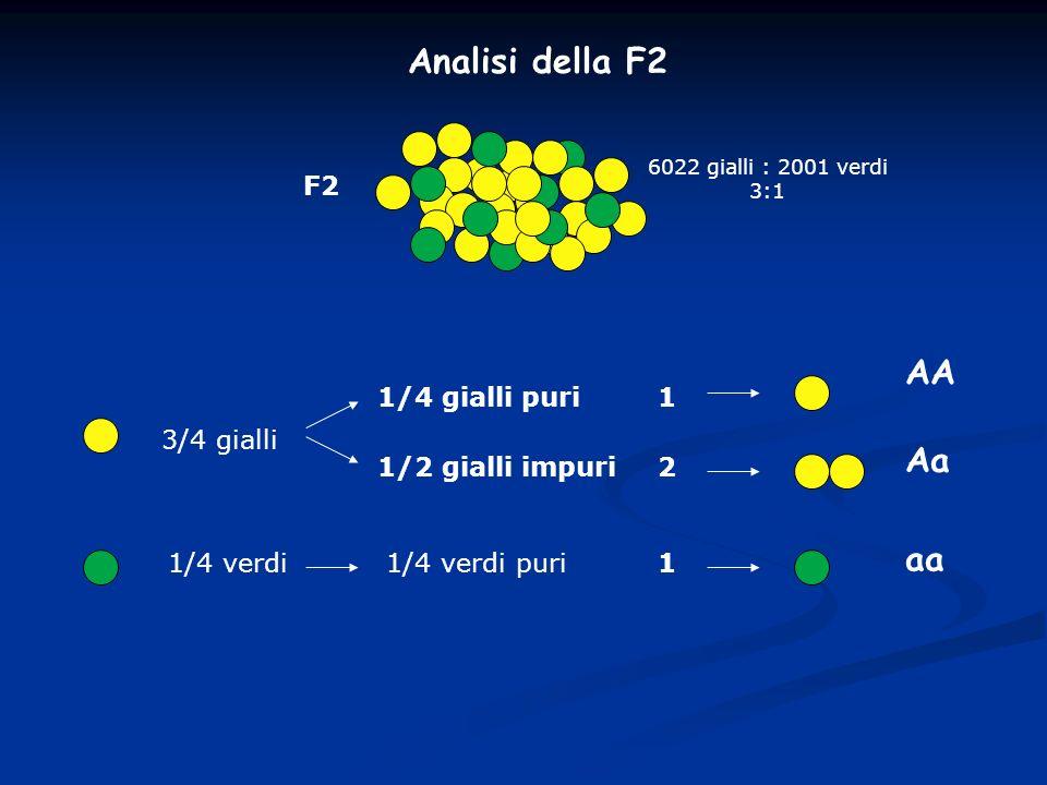 Analisi della F2 AA Aa aa F2 1/4 gialli puri 1 3/4 gialli