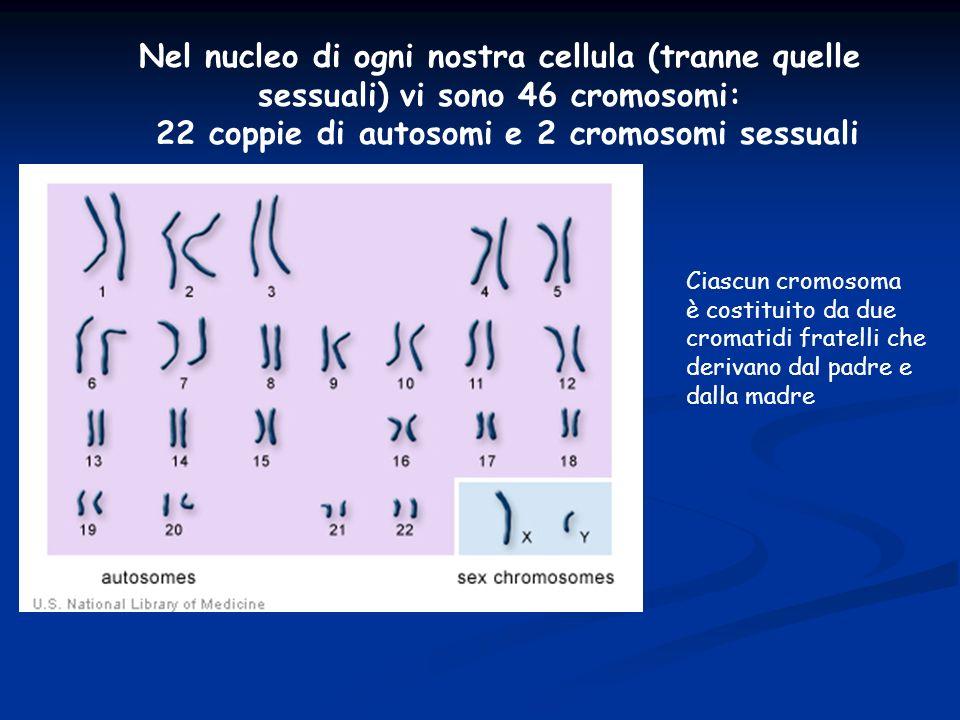 22 coppie di autosomi e 2 cromosomi sessuali