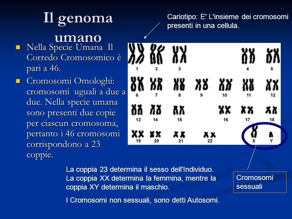 Il genoma umano Nella Specie Umana Il Corredo Cromosomico è pari a 46.