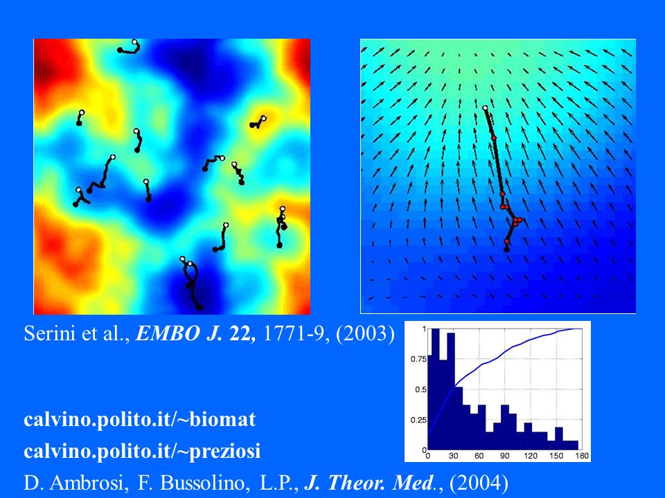 Serini et al., EMBO J. 22, 1771-9, (2003) calvino.polito.it/~biomat. calvino.polito.it/~preziosi.
